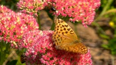 Butterfly honey gathering Stock Footage