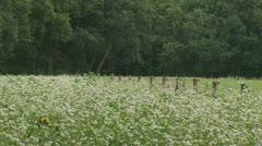 Buckwheat field 01i Stock Footage