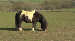 Shetland pony grazing in a field. Stock Footage