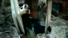 Baby Panda sitting on a swing in Beijing Zoo, China Stock Footage