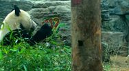 Olympic Panda eating Bamboo - medium and wide shot - Beijing Zoo, China Stock Footage