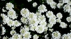 White Flowers (Topview) Stock Footage