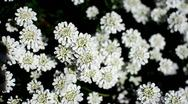 Stock Video Footage of White Flowers (Topview)