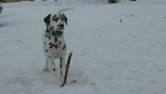 Dalmatian dog - stock footage