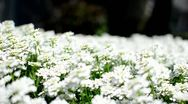 Stock Video Footage of Bed of White Flowers 3