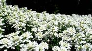 Stock Video Footage of Bed of White Flowers 2
