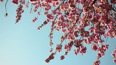 Pink Blossom Tree Stock Footage
