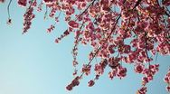 Stock Video Footage of Pink Blossom Tree