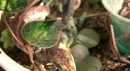 Stock Video Footage of Alligator Lizard 04