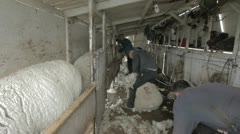 Sheep shearing for wool P HD 9607 Stock Footage