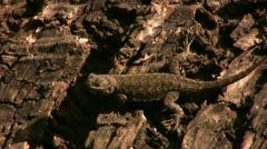Western Fernce Lizaard 01 Stock Footage