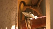 Alligator Lizard 06 Stock Footage