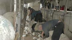 Sheep shearers cutting wool from lambs P HD 9654 Stock Footage