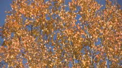 Birch leaves Stock Footage