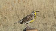 Meadowlark sits on a post Stock Footage