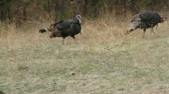 Turkeys fans tail feathers and struts his stuff - stock footage