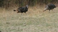Turkeys fans tail feathers and struts his stuff Stock Footage