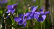 A group of dog violets in Spring, close up, looping Stock Footage