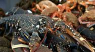 Lobster Live Stock Footage