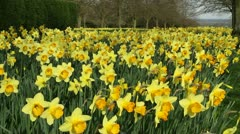 Vibrant Daffodils Stock Footage