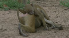 Adult and young Savannah Baboons playing in Niassa Reserve, Mozambique. Stock Footage