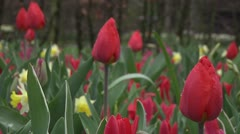 Tulipa christmas marvel Stock Footage