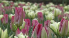 Tulipa Flaming Purissima Stock Footage