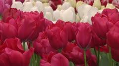 Tulipa Roxy Stock Footage