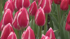 Mix of pink and white tulips Stock Footage