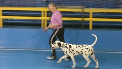 Dalmatian dog running Stock Footage