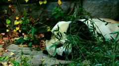 Old Panda sleeping in Beijing Zoo, medium and wide shot, China Stock Footage