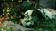 Old Panda sleeping in Beijing Zoo, medium and wide shot, China Stock Footage