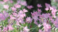 Stock Video Footage of Heather and pink flowers that are blooming beautifully.