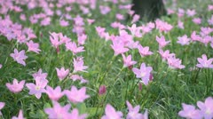Heather and pink flowers that are blooming beautifully. Stock Footage