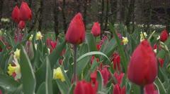 Tulipa christmas marvel - stock footage