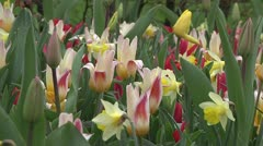 Tulipa Johann Strauss Stock Footage