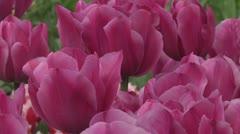 Tulipa Zantupink  Stock Footage