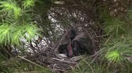 Stock Video Footage of Amid Nature - Mom and Dad Cardinal Both Feed the Growing Young Birds in the Nest