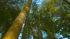 Guadua bamboo grove, tilt down - stock footage