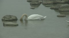 Mute swan,Cygnus olor on the Baltic sea during spring Stock Footage