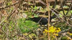 Black bird raven eats 02 Stock Footage