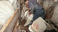 Men shearing wool from sheep in ranch shearing shed P HD 9696 Stock Footage