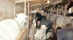 Men shearing wool from sheep in spring P HD 9695 - stock footage