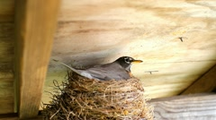 Bird nestles in on eggs in her nest Stock Footage