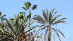 palms blowing - stock footage
