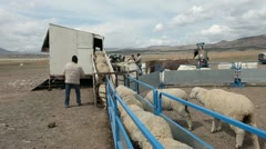 Sheep shearing and wool harvest ranch operation P HD 9699 Stock Footage