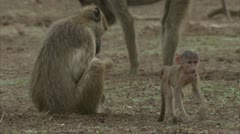 Infant and adult Savannah Baboons foraging in Niassa Reserve, Mozambique. Stock Footage