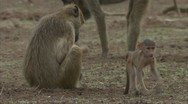 Stock Video Footage of Infant and adult Savannah Baboons foraging in Niassa Reserve, Mozambique.