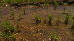 Agriculture, rice paddies tilt up Stock Footage