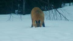 Swedisch fox Stock Footage